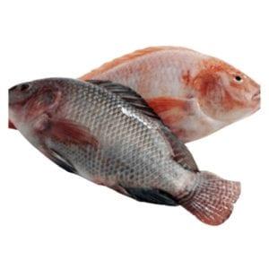 Cá Telapia